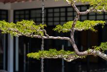 Japanese Bonsai Tree Blurry Ba...