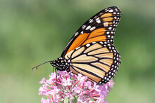 Close Up Of A Monarch Butterfly On Pink Blooms Of A Butterfly Bush