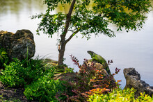 Iguana Perched Upon A Rock By ...