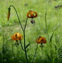 Tiger Lily Bud And Flower