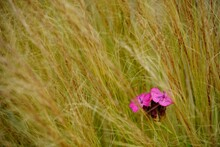 Red Flowerhead Amidst Wild Grass