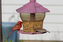 Cardinal And Sparrow Eating Ou...