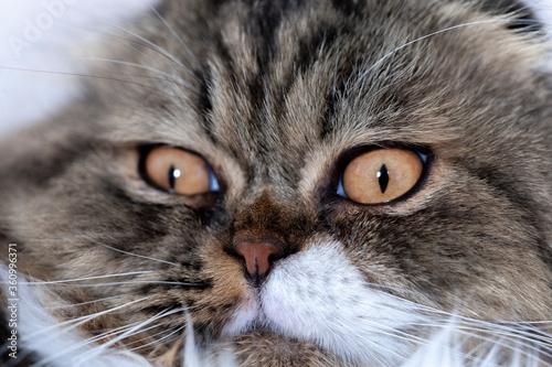 Furry cat. Macro, narrow focus. Canvas Print
