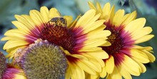 Selective Focus Shot Of Yellow Gaillardia Flowers