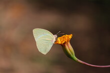 Large White Butterfly On Marigold