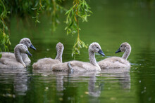Five Ygnets On Summer Day In C...