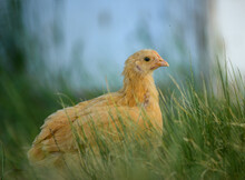 Picture Of A Chicken In Tall G...