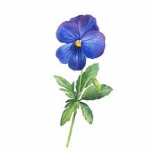 The Blue Garden Bicolor Pansy ...