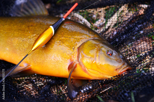 Valokuvatapetti Fish tench lying on a fishing net with a fishing float