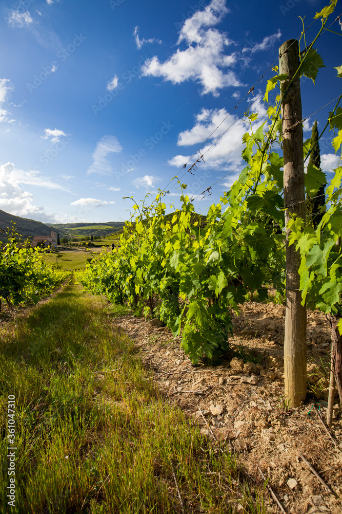 landscape of vineyard and summer