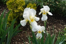 Group Of Three White Flowers Of Bearded Irises In May