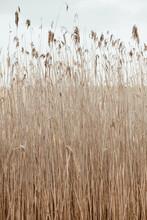 Dry Reed Stalks Field. Minimal...