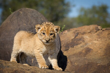 Tiny Baby Lion Standing On A Rock In Kruger Park South Africa