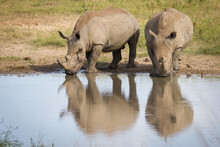 Two White Rhino Standing At Edge Of Water And Drinking In Kruger Park South Africa