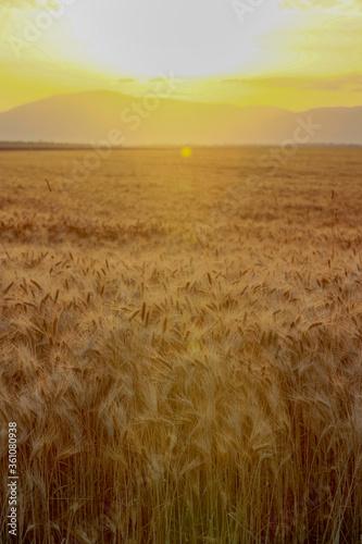 Champs de blé sous le soleil de Provence en France Canvas Print