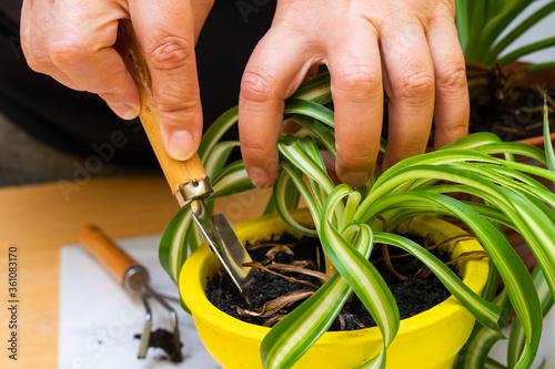 Care for home plants. Chlorophytum. Canvas Print