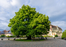 The Famous 12th Century LINDEN Tree In Heiligenberg Used For Executions In Historical Times