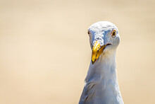 A Funny Portrait Of A Seagull ...