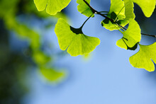 Close-up: Green Leaves Of Gink...