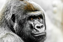 A Beautiful Portrait Of A Western Lowland Gorilla