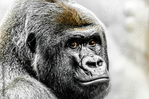 A beautiful portrait of a western lowland gorilla Canvas Print