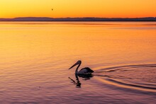 Lonely Pelican Swimming In The...