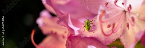 makro insekt chrząszcz robak zielony na kwiatach różowe w ogrodzie egzotyka błys Canvas Print