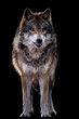 a growling wolf on a black background