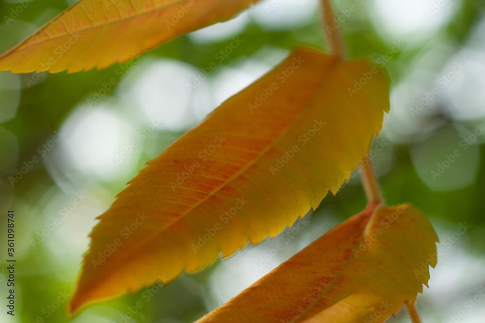 Fototapeta Liść pomarańczowy jesień