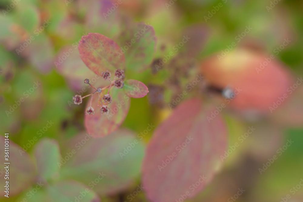 Fototapeta Liść różowy krzak