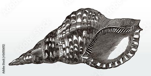 Obraz na płótnie Shell of the Atlantic triton, charonia variegata after an antique illustration f