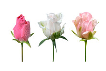 Three Rose Buds Isolated On Wh...