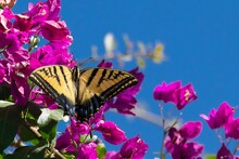 Tiger Butterfly On Bougainvill...