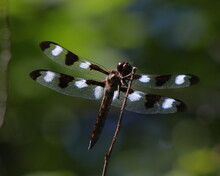 Twelve-spotted Skimmer (Libellula pulchella) Resting On A Twig