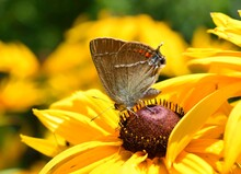 Butterfly On The Yellow Flower...