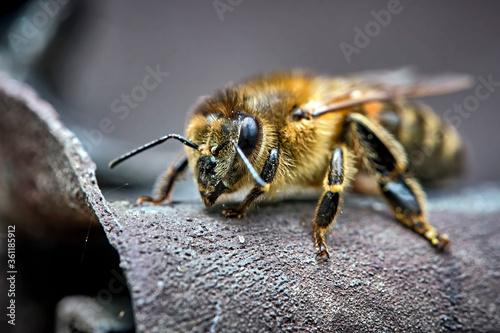 Westliche Honigbiene ( Apis mellifera ), Europäische Honigbiene . Canvas Print
