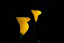 Amarillo Radiante