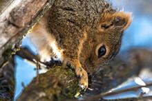 Eastern Fox Squirrel (Sciurus Niger) In Spring Licking Maple Sap