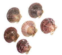 Many Different Real Scallop Sh...