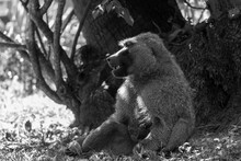 A Baboon Has Found A Fruit And...