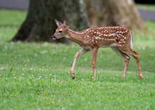 White-tailed Deer Fawn In An Open Meadow