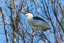 A Full-bodied Side Profile Close Up Of An Adult Black-crowned Night Heron In A Budding Tree With A Vibrant Red Eye And Pink Legs And Feet During Mating Season