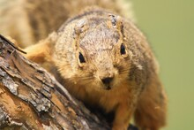 Closeup Shot Of A Squirrel On ...