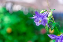 Close Up Of An Aquilegia Canadensis Or Blue Columbine, Summer Flower