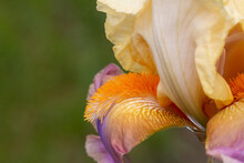 Purple And Yellow Iris With Or...