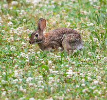 Adorable Cute Little Furry Cottontail Bunny Rabbit In A Grassy Meadow Full Of Wildflowers.