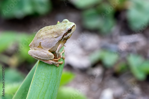 little frog Hyla arborea on a blade of grass Canvas Print