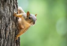 Cute Little Eastern Fox Squirr...