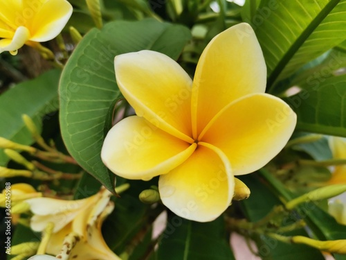 A yellow white frangipani flower or bunga kamboja with a background of branches Wallpaper Mural