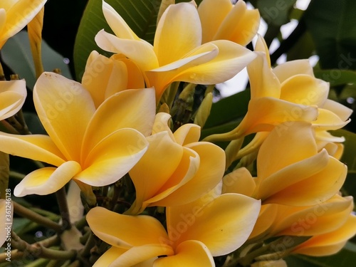 Obraz na plátně A yellow white frangipani flower or bunga kamboja with a background of branches